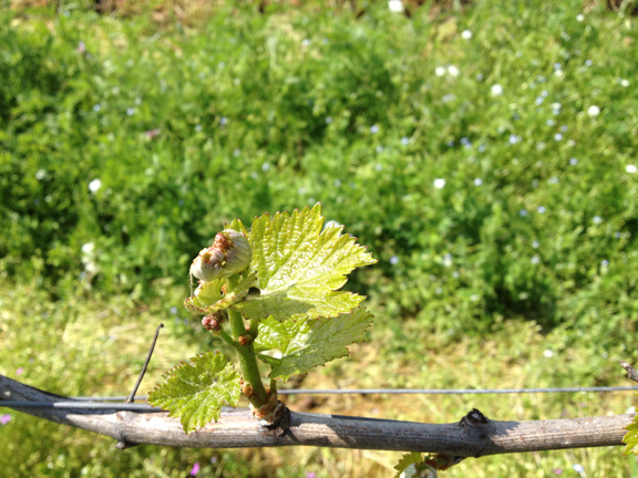 first flower vineyard